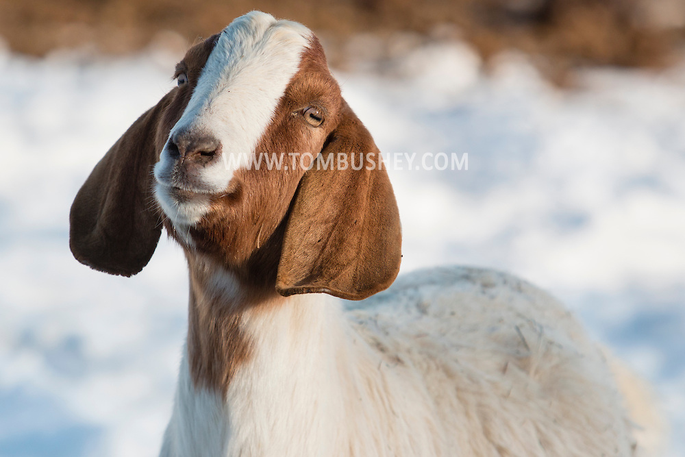 Goshen, New York - A goat poses for a porttrait at Banbury Cross Farm on Feb. 20, 2015.