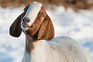 Goshen, New York - A goat poses for a porttrait at Banbury Cross Farm on Feb. 20, 2015.