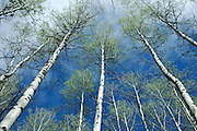Aspen trees at Ponderosa Park in McCall