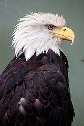 Bald eagle (Haliaeetus leucocephalus), Juneau, Alaska, United States of America