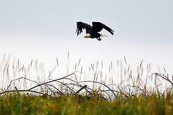 Bald Eagle (Haliaeetus leucocephalus) flies over a grassy field, Lake Clark National Park, Alaska, United States of America