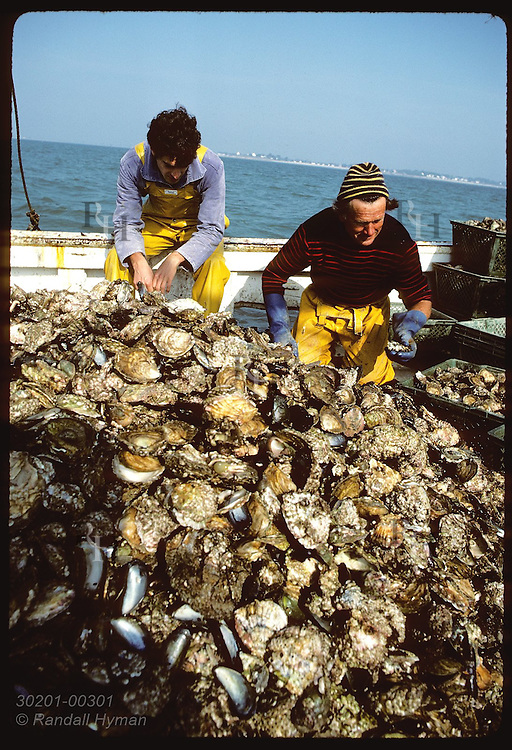 Oystermen aboard Le Loch cull predatory seastars and crepidules from meager flat oyster harvest. France