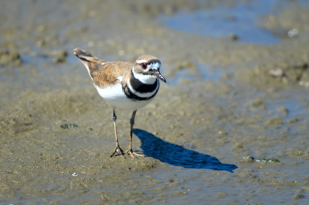 Killdeer feeding at Malibu Lagoon.
