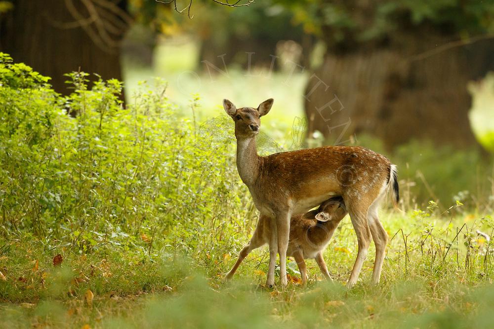 Fallow Deer (Dama dama) Adult female feeding young, Norfolk, UK.