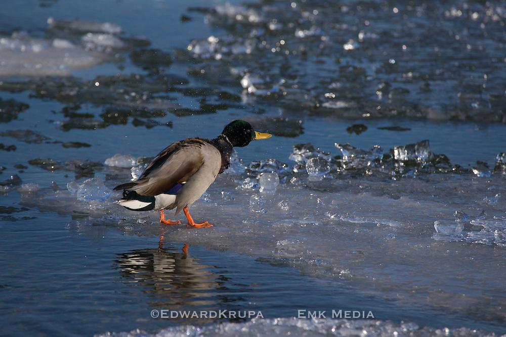 Male Mallard shakes himself off on ice.Toronto,Canada.