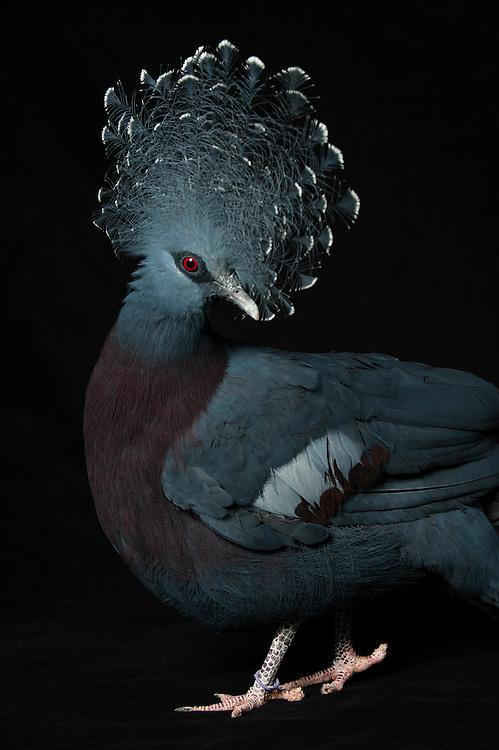 Victoria Crown Pigeon, (Goura victoria), Captive, credit: Pandemonium Aviaries/M.D.Kern