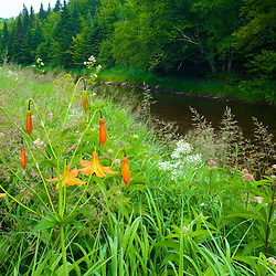 Canada lillies, Lilium canadense, on the bank of Indian Stream in Pittsburg, New Hampshire.  Connecticut River tributary.