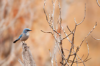 A Western Scrub Jay a year round resident of northern Utah perches next to a local mountain trail in Ogden Valley.