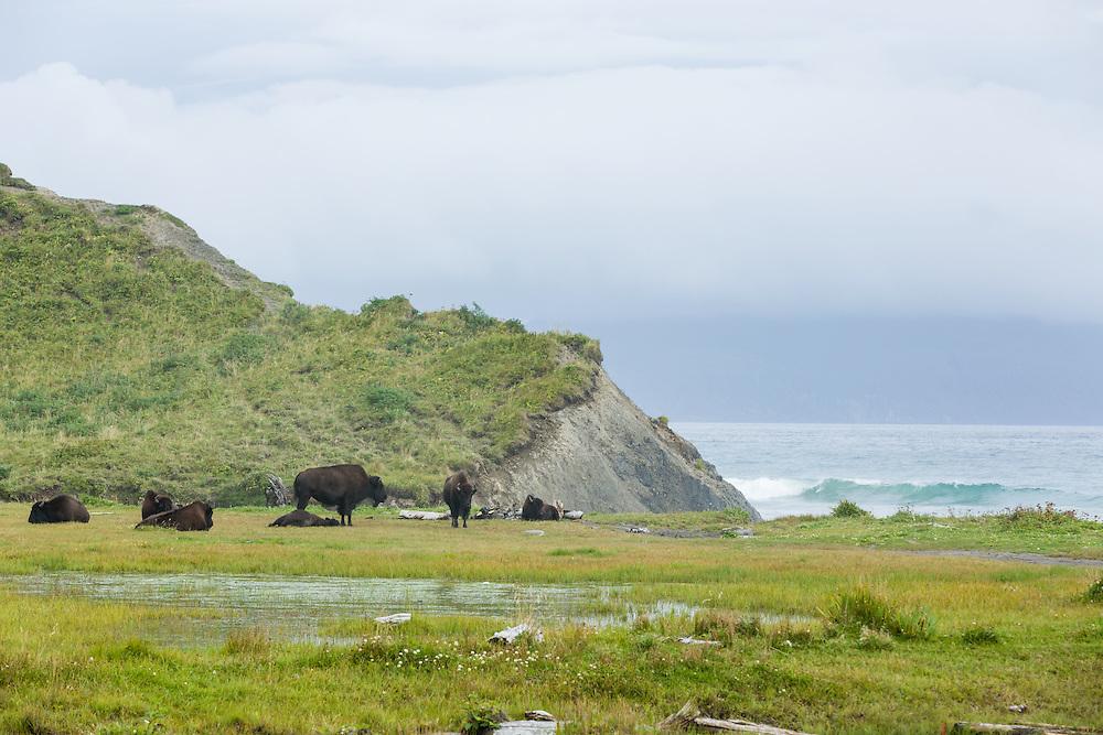 Bison (Bison bison) resting at Pasagshak on Kodiak Island in Southwestern Alaska. Summer. Afternoon.