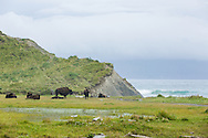 Bison (Bison bison) resting at Pasagshak on Kodiak Island in Southwestern Alaska. Summer. Afternoon.