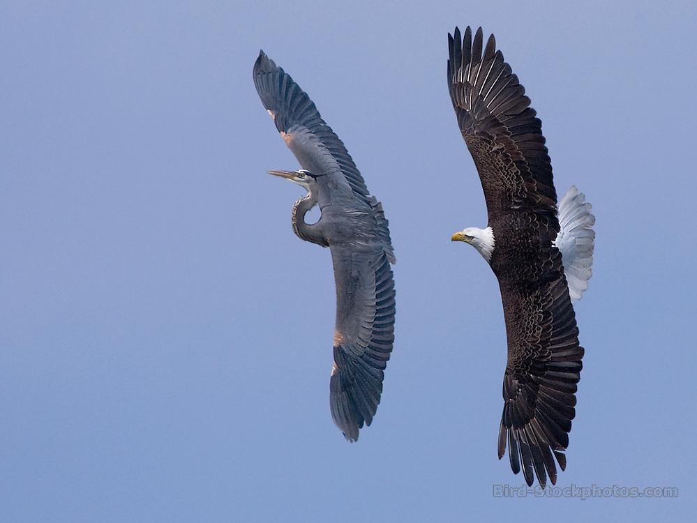 Bald Eagle, Haliaeetus leucocephalus, Great Blue Heron, Ardea herodias, chasing, flight, Fox Lake, North America, USA Midwest, by Owen Deutsch