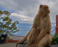 Gibraltar Monkey (Barbary macaques) on top of the Rock of Gibralter. Image taken with a Nikon D4 and 14-24 mm f/2.8 lens (ISO 100, 14 mm, f/8. 1/250 sec). Semester at Sea Spring 2013 Enrichment Voyage.
