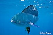 dorado, mahi mahi, or dolphin fish, Coryphaena hippurus, off Isla Mujeres, near Cancun, Yucatan Peninsula, Mexico ( Caribbean Sea ) (de)