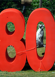 © under license to London News Pictures.  23.05.11.Ring Tailered Lemurs celebrate Whipsnade Zoo's 80th Birthday, the zoo first opened its doors on May 23rd 1931.