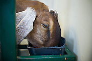 July 26, 2008 -- SNOWFLAKE, AZ: A Nubian dairy goat eats while being milked at the Black Mesa Ranch, a 280 acre spread in the high desert near Snowflake, AZ. The ranch owners, David and Kathryn Heininger, run a herd of about 40 Nubian dairy goats and hand make artisan cheese from the goat's milk. It's a second gear for them, they retired from Tucson, AZ, where they bought and renovated  historic homes. The moved to the ranch in 2001 and started making and selling cheese shortly after the move. Their cheese is used in expensive restaurants in Phoenix and sold at natural food stores in Arizona. PHOTO BY JACK KURTZ