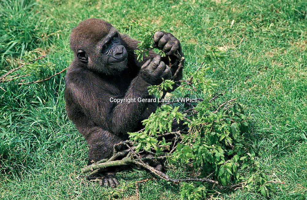 Eastern Lowland Gorilla, gorilla gorilla graueri, Adult sitting on Grass, Eating Leaves