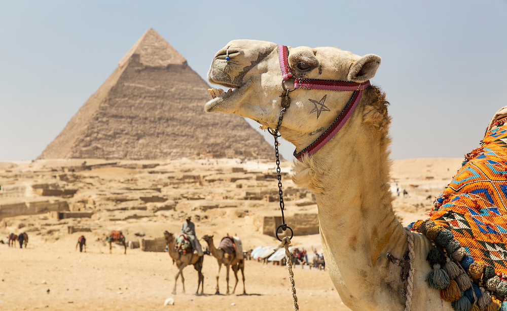 Egypt, Cairo, Midday sun lights tourists' camels resting in front of Great Pyramid of Giza in Sahara Desert