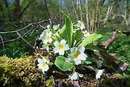 Primrose - Primula vulgaris, Stoke Wood, Bicester, Oxfordshire