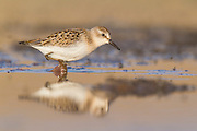 Least sandpiper during migration in Northwest Wyoming