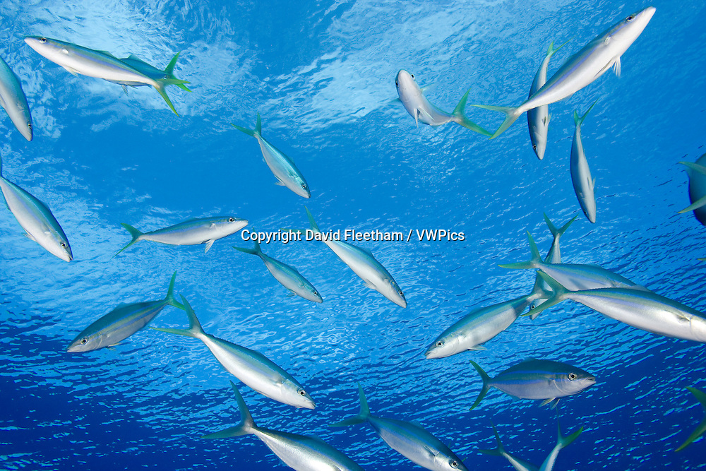 The Rainbow Runner is found in large schools which travel in the first 100 feet of the water column. This species is reported to reach six feet in length, but is most common under three feet.  Yap, Micronesia...