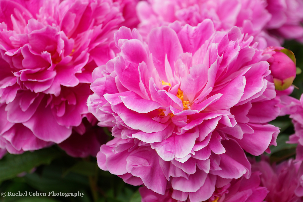 &quot;Ever so Vibrant&quot;<br /> <br /> Amazing huge pink Peonies! So lovely and vibrant!