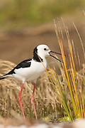 Pied Stilt, Waiheke Island, New Zealand