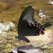 Paris Peacock, Papilio paris, is a species of swallowtail butterfly found in Asia. This specimen was photographed in the Kaeng Krachan National Park, Thailand.