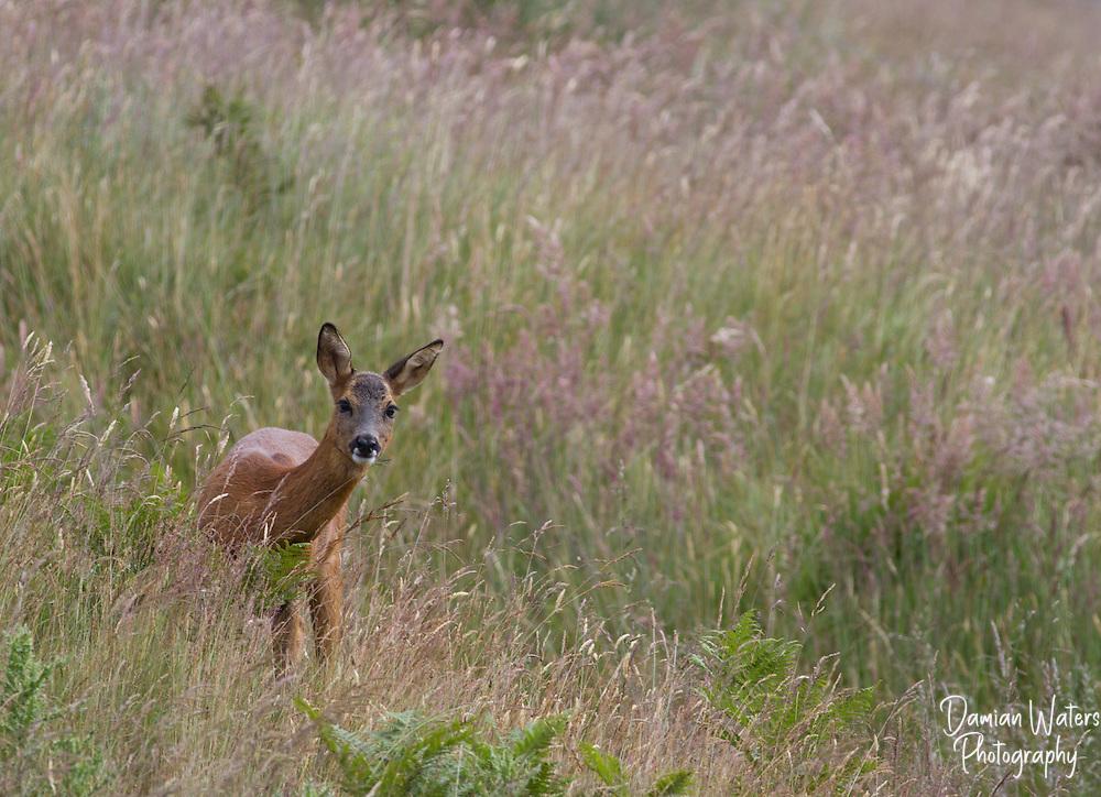 Roe Deer, Capreolus capreolus,Glen Quaitch, Scotland, July