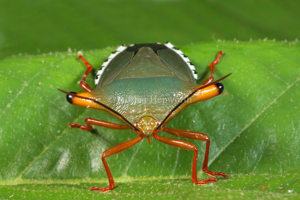 Stink Bug (Edessa sp.). Rainforest, La Selva Biological Station, Costa Rica. <br />
