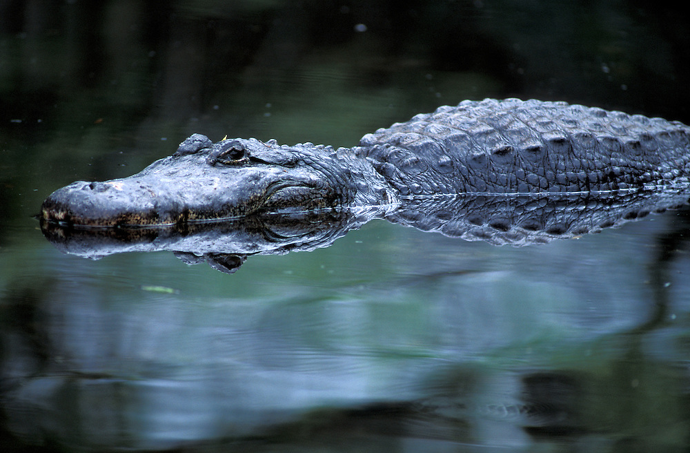 Mississippi- Alligator (Alligator mississippiensis) Alligator Farm, St. Augustine, Florida, USA