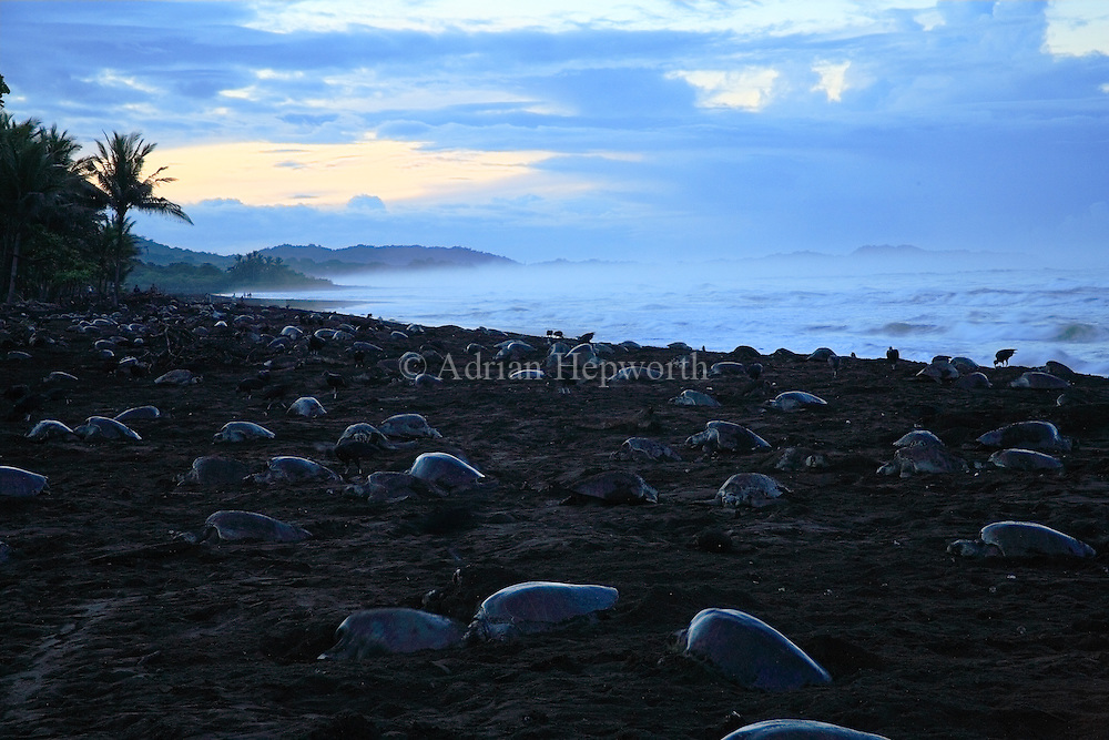 Arribada of Olive Ridley Turtles (Lepidochelys olivacea) at dawn.  Females come ashore to lay eggs. Playa Ostional, Guanacaste, Costa Rica. <br />