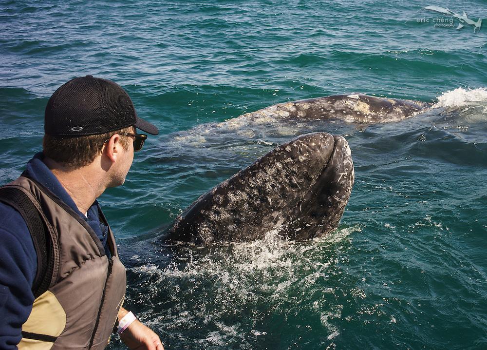 Baby gray whales (Eschrichtius robustus), at San Ignacio Lagoon in Baja Mexico love to come to the little tourist pangas to be rubbed. Super amazing experience. Laguna San Ignacio, Baja California, Mexico