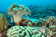 Leather Coral (Alcyonacea)<br /> Cenderawasih Bay<br /> West Papua<br /> Indonesia