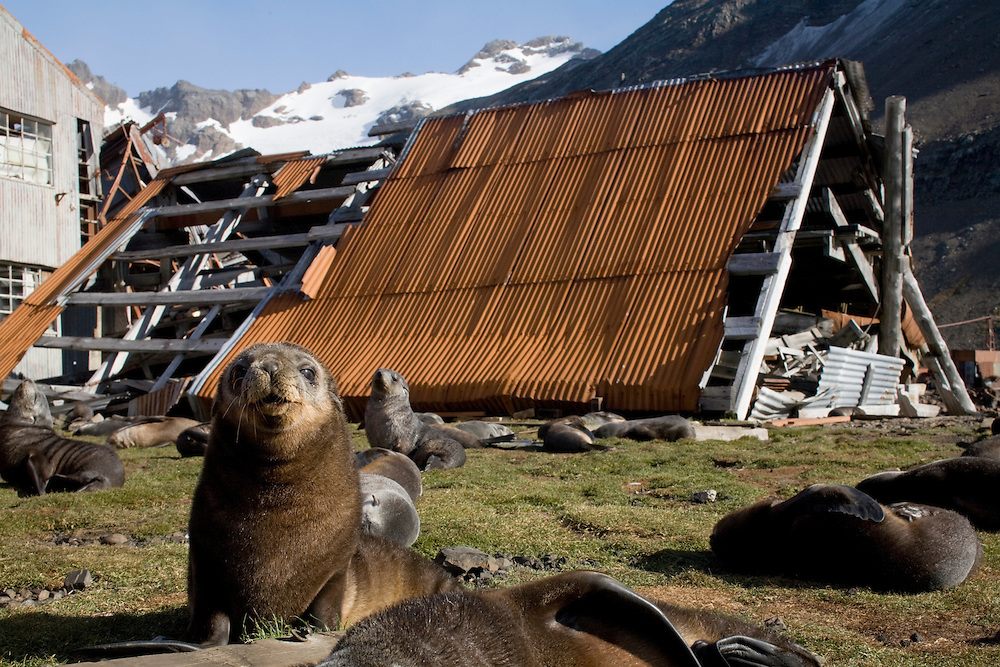 Antarctica, South Georgia Island (UK), Antarctic Fur Seal pups(Arctocephalus gazella) among decaying buildings in remains of abandoned whaling station at Leith Harbour