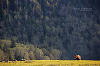 Grizzly bear in the Khutzeymateen Grizzly Bear Sanctuary in the Great Bear Rainforest, British Columbia, Canada