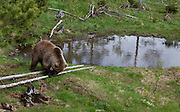 Bear in Namsskogan Zoo, Mid-Norway. Bjørn i Namsskogan familiepark.