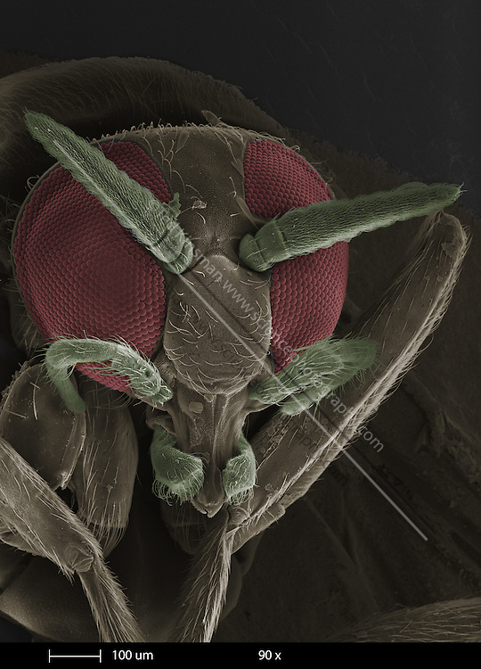 Scanning electron microscopy (SEM) of a black fly eye (species Simulium ).  The magnification is 00x and the calibration bar is 100 um in length.