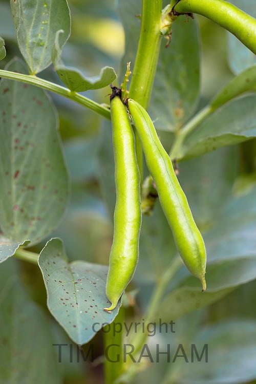 Broad bean, Vicia Faba, variety Martock in organic vegetable garden in Oxfordshire UK