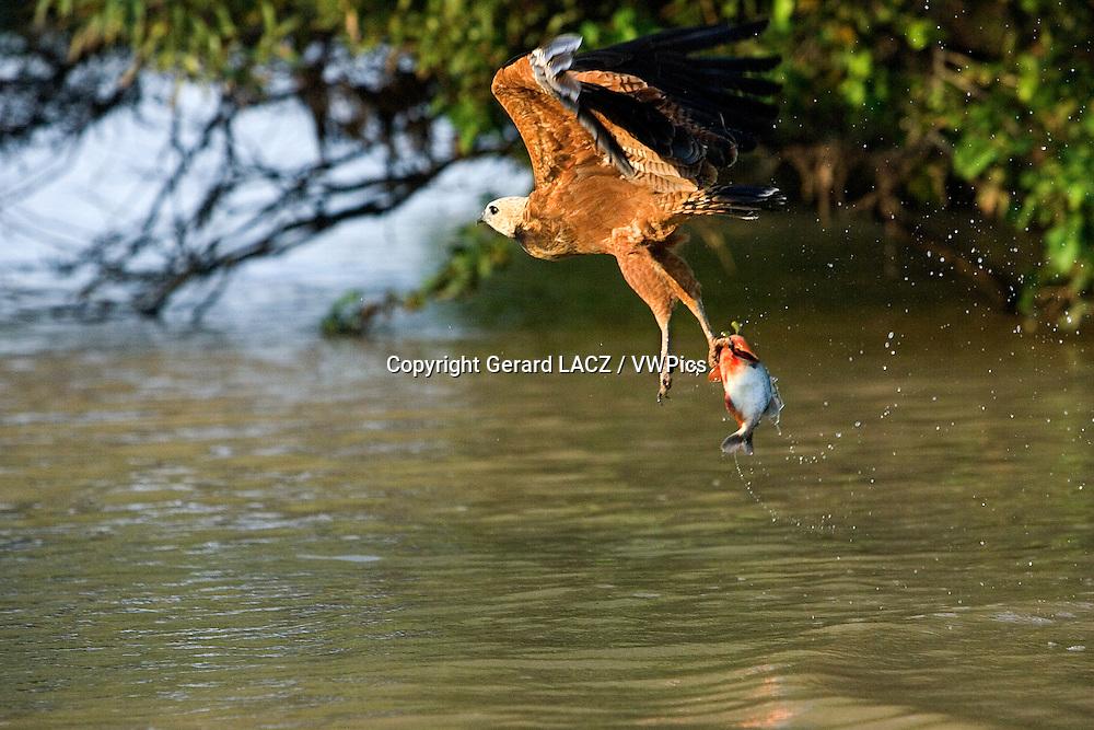 Black-collared Hawk, busarellus nigricollis in Flight, Fishing in River, Los Lianos in Venezuela