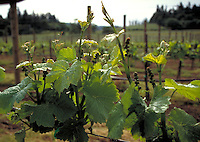 Grape berries and vine shoots in spring. CD scan from 35 mm. © John Birchard