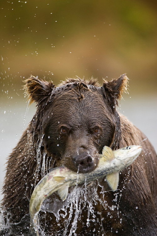 USA, Alaska, Katmai National Park, Kinak Bay, Brown Bear (Ursus arctos) pulls spawning salmon from river on autumn evening