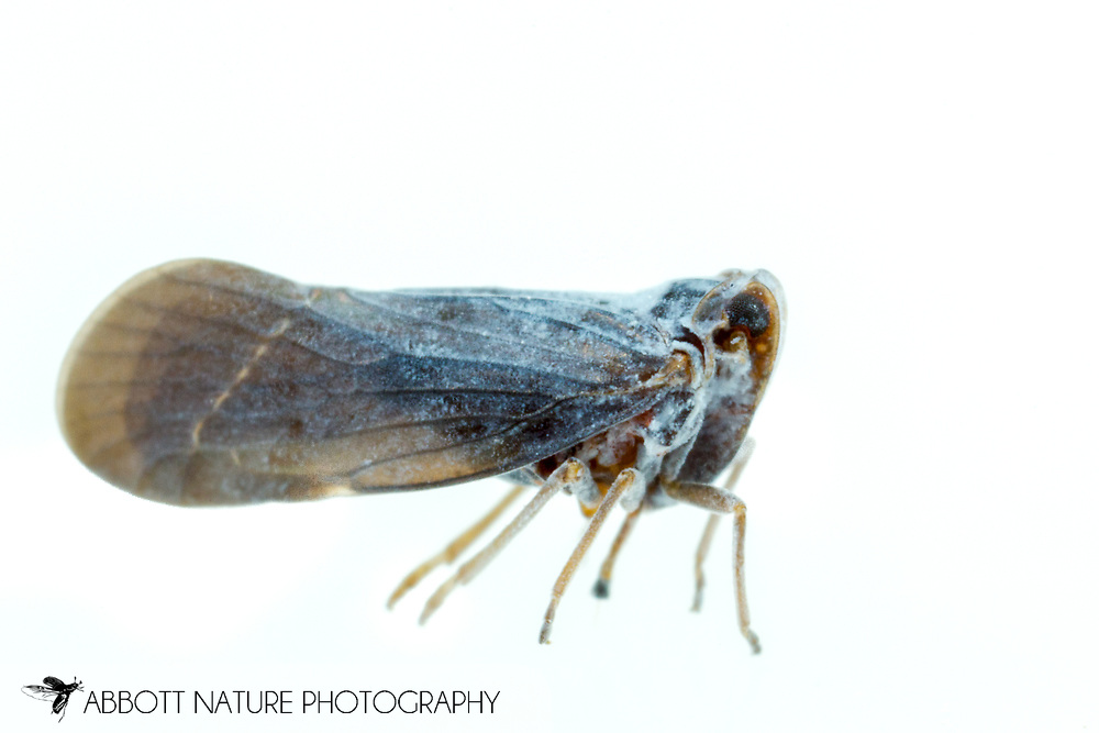 Derbid Planthopper (Cedusa sp., possibly vulgaris)<br /> United States: Alabama: Tuscaloosa Co.<br /> Tulip Tree Hollow off Echola Rd.; Elrod<br /> 24-Jun-2016<br /> J.C. Abbott #2837