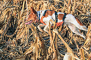 Brittany spaniel wearing a protective vest running during a pheasant hunt in South Dakota.