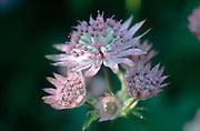Astrantia major 'Roma' - pink masterwort