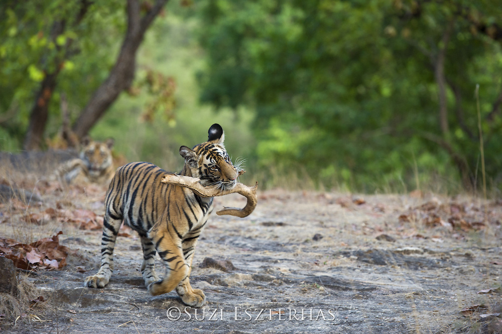 Tiger <br /> Panthera tigris<br /> 8 month old cub playing with stick<br /> Bandhavgarh National Park, India<br /> *Endangered species