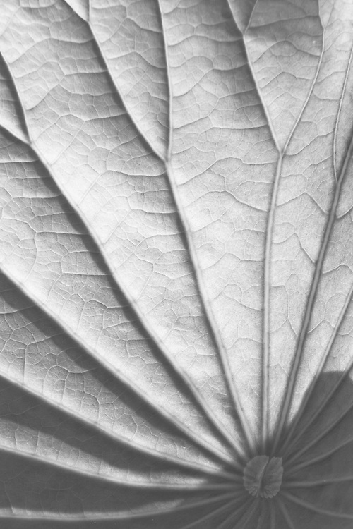 Black and white close-up of a backlit lotus leaf (Nelumbo nucifera), Kenilworth Park and Aquatic Gardens, Washington, DC.