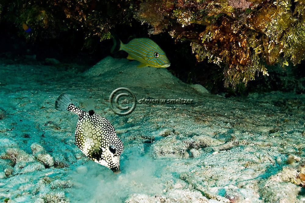 Smooth Trunkfish, Lactophrys triqueter<br /> (Linnaeus, 1758),  Bluestriped Grunt, Haemulon sciurus, Grand Cayman