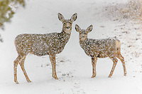 Mule Deer [Odocoileus hemionus] doe with fawn, standing in road during snow storm; Fremont County, Colorado