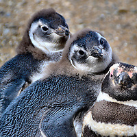 Three Penguins Family Portrait at Penguin Reserve on Magdalena Island, Chile<br /> If you like penguins, you will love seeing over 63,000 breeding pairs on Magdalena Island in southern Chile.  In this family portrait, the two birds with grey-blue coloring are chicks.  An average of 1.4 chicks per nest survives each year. The adults can live up to 20-25 years and mate for life.