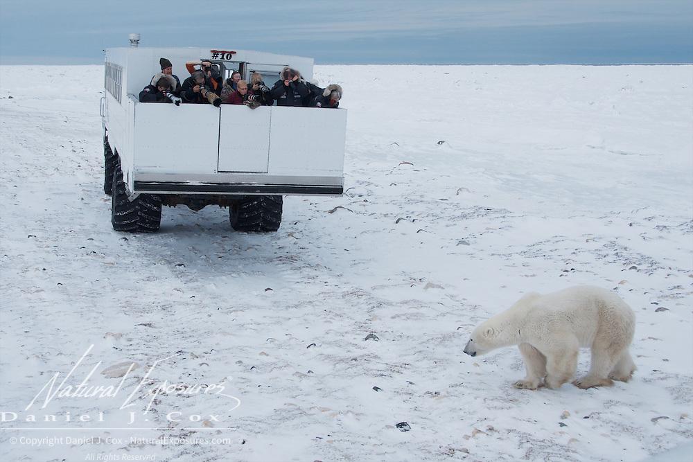A polar bear checks out a Tundra Buggy at Cape Churchill, Hudson Bay, Manitoba.